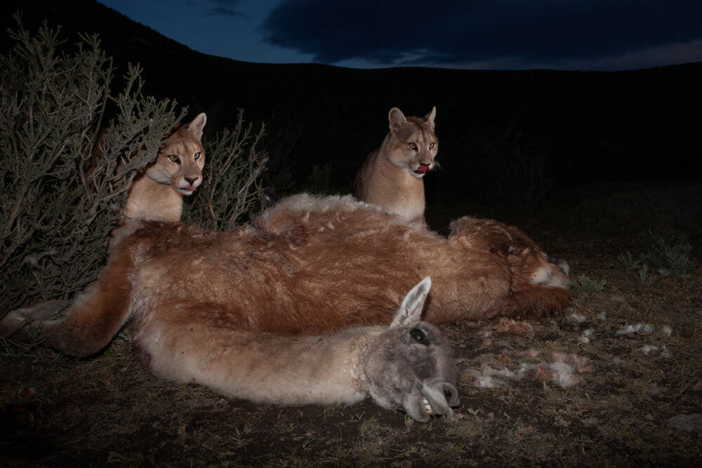 """Ingo Arndt, """"Pumas salvajes de la Patagonia"""" (2018): Cachorros de puma de un año de edad, que se alimentan del cadáver de un guanaco adulto, asesinado la noche anterior. Imagen: © Ingo Arndt, para National Geographic"""