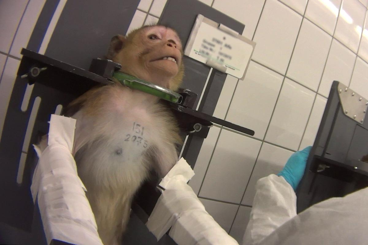 VIDEO: La horrible explotación animal con monos atados al cuello en laboratorios de la industria química y farmacéutica