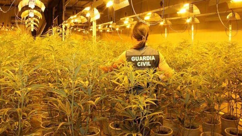 España: Hallaron 16 mil plantas de marihuana en la profundidad de los bosques