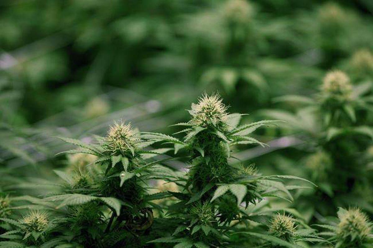 La marihuana podría ayudar a pacientes de TEPT a superar pensamientos suicidas y depresión