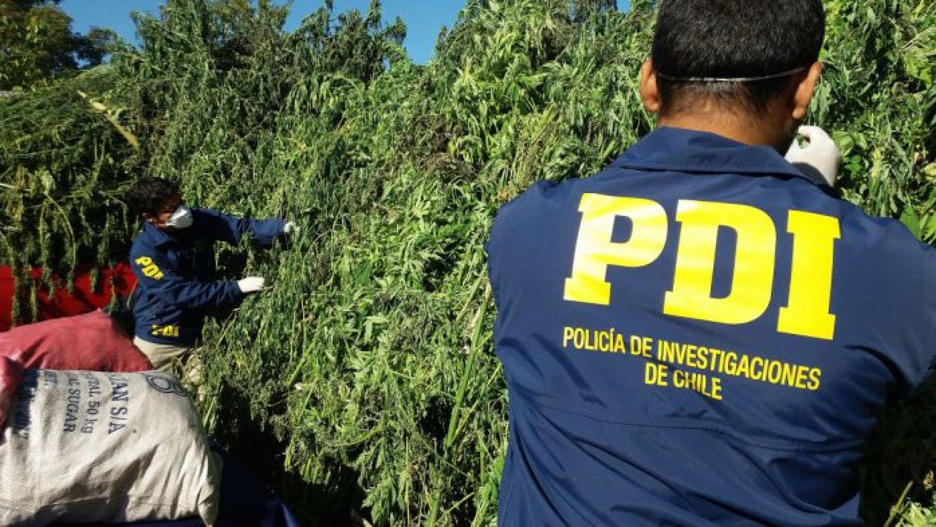 Chile: Autoridades decomisan 1.197 plantas de marihuana sativa en recinto militar
