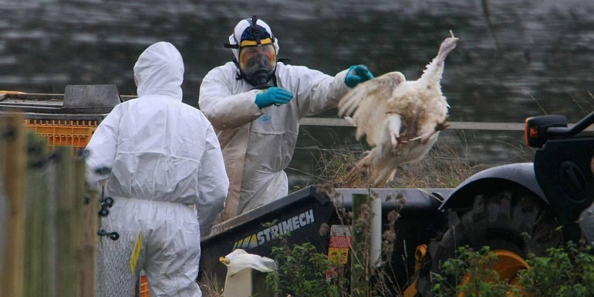 Filipinas: Descubren brote de gripe aviar que podría contagiar a humanos