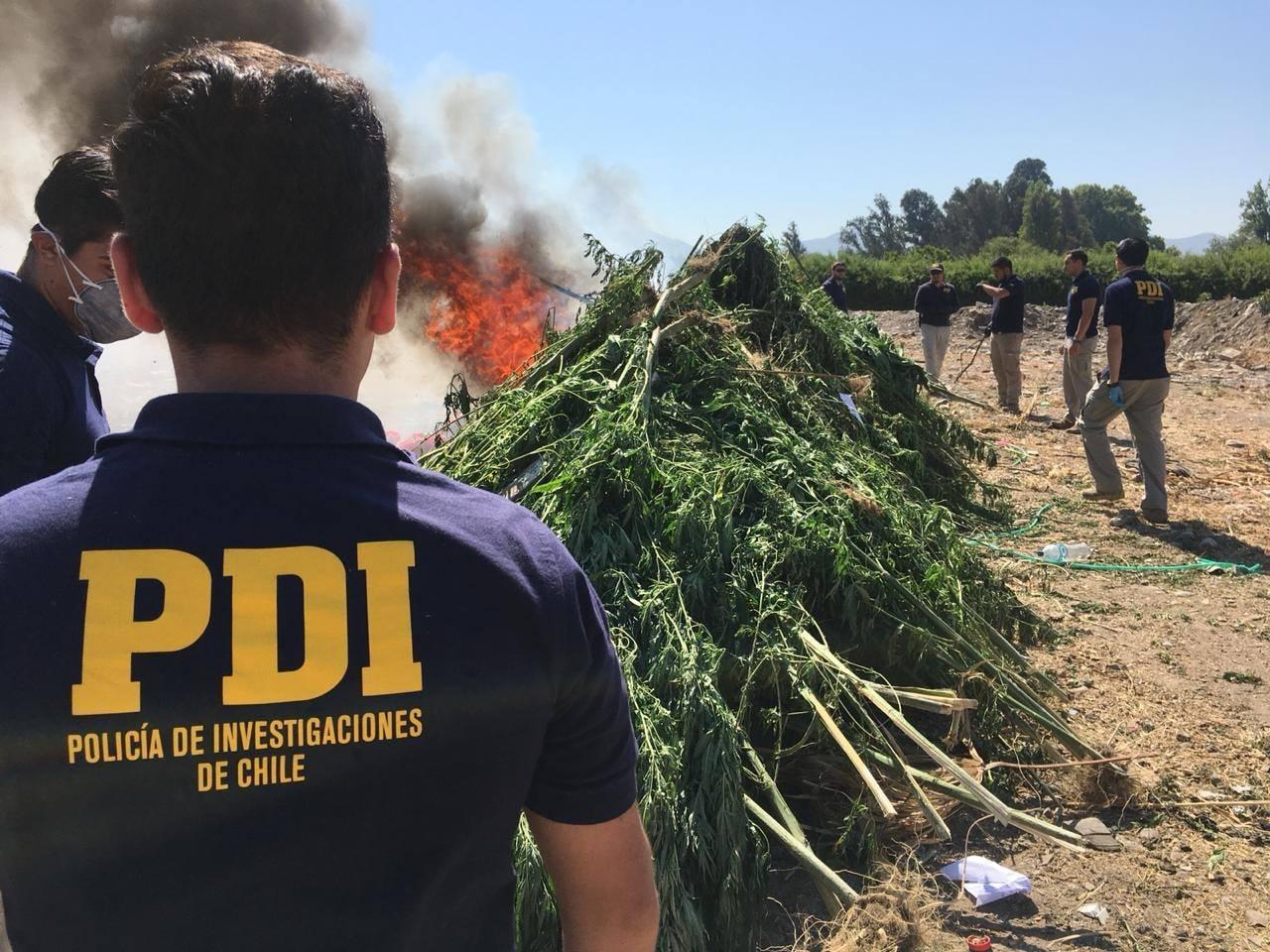Chile: Destruidas más de 3.600 plantas de marihuana en operativo en Valparaíso