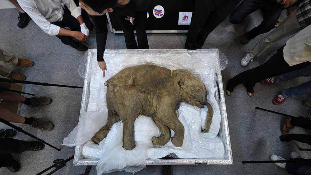 El mamut lanudo podría volver a caminar por la Tierra tras 10.000 años de extinción a través de una clonación