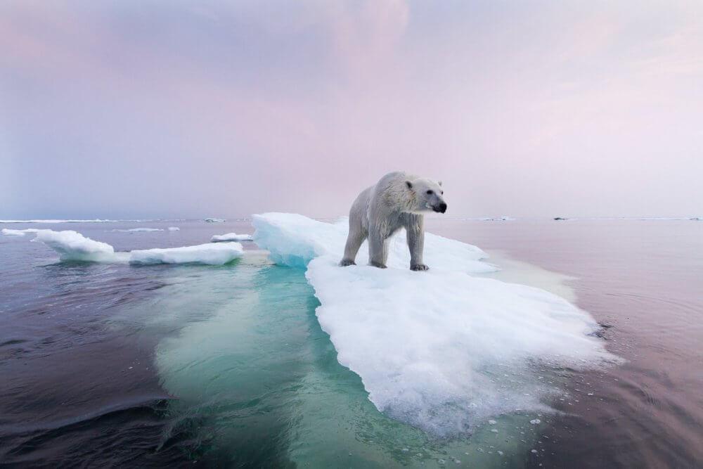 Los osos polares podrían extinguirse para finales de siglo, según expertos