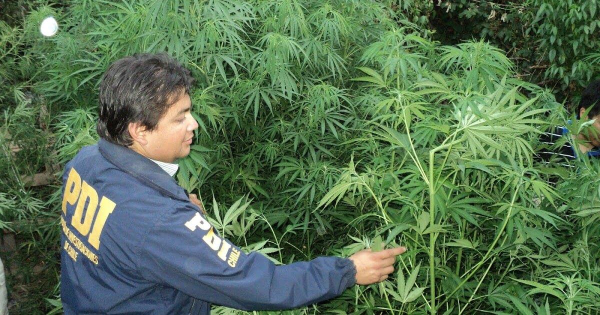 Chile: Estudio de SENDA descubre que marihuana incautada en el país no tiene propiedades terapéuticas, pero sí niveles tóxicos de THC